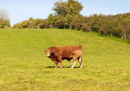 Bull in the middle of the field, symmetrical design example